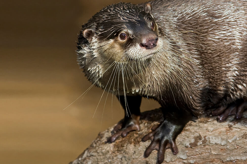 African clawless otter displaying webbed feet