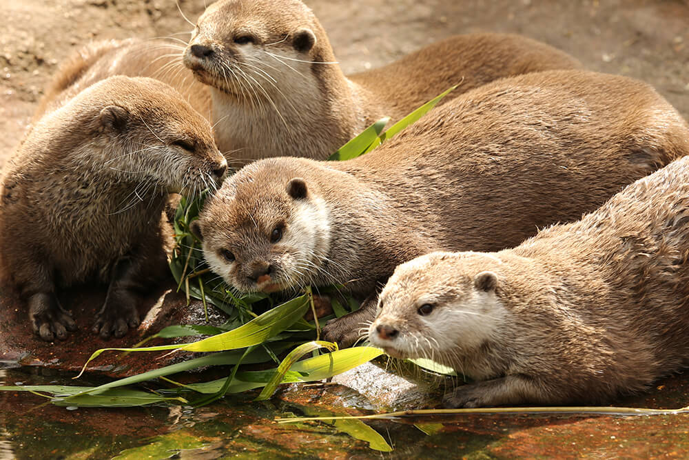 A group of four Asian small-clawed otters
