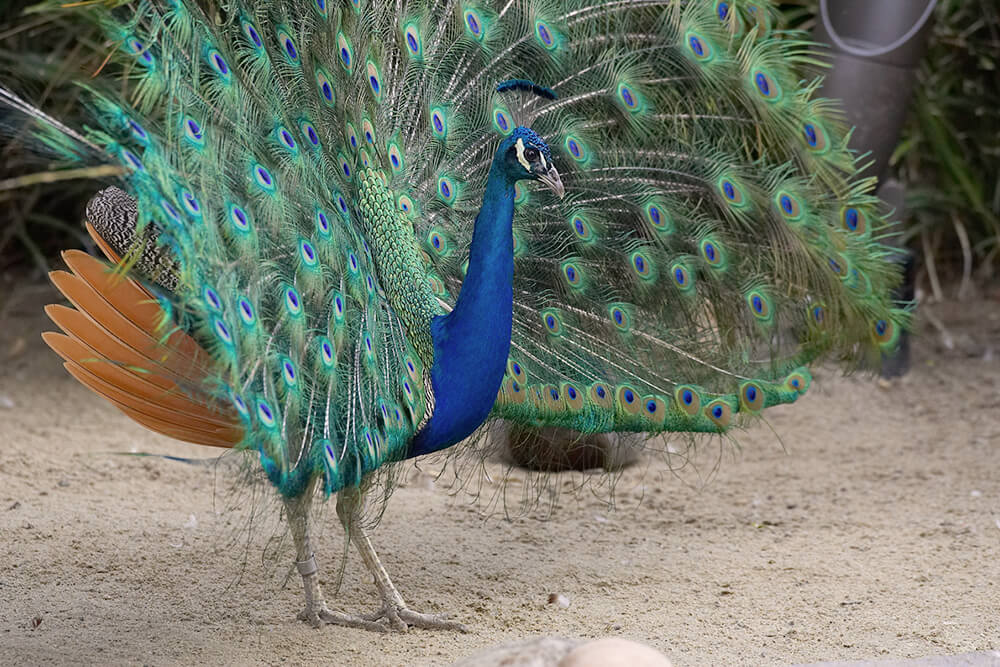 A full-body shot of a peacock displaying his tail.