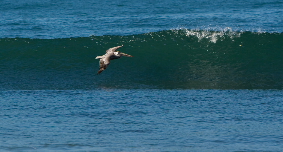 Brown pelican flying along shore break.
