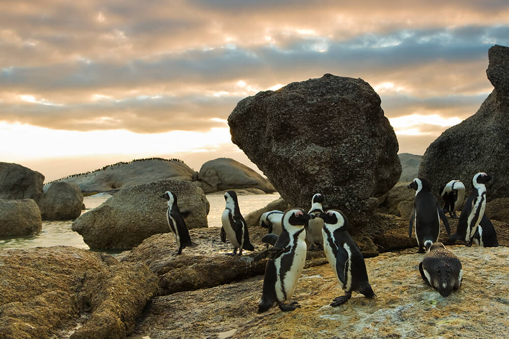 A group of African penguins stand on a rocky, sandy coast in the foreground, while hundreds of penguins stand on a large boulder in the distance.