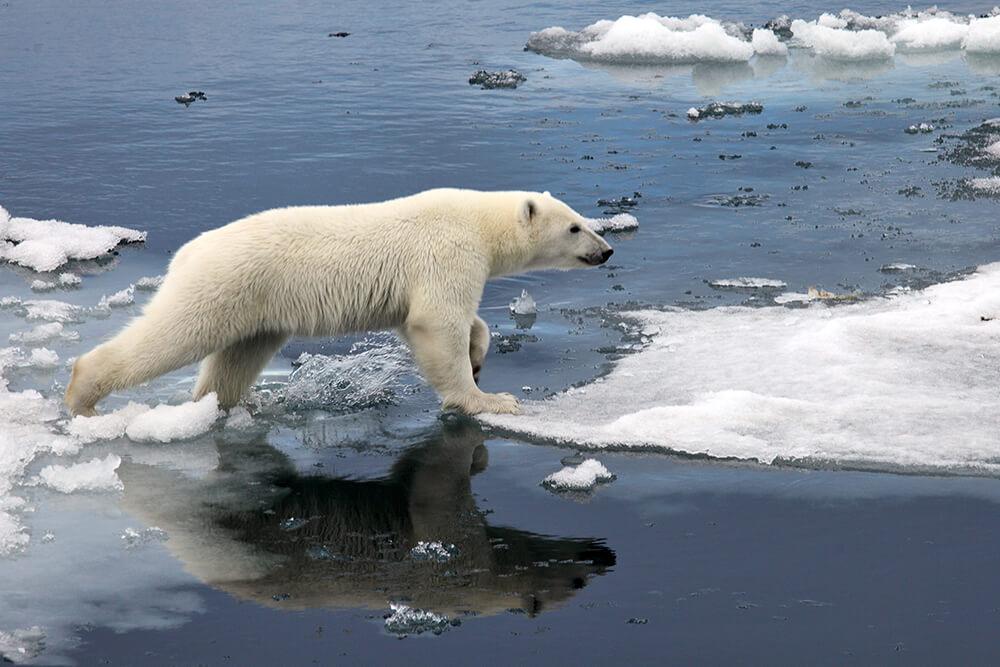 ef1237f1044 Polar Bear | San Diego Zoo Animals & Plants
