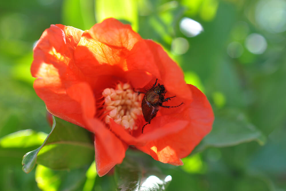 Red pomegranate flower with a beetle crawling inside