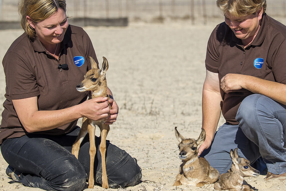 Lissa McCaffree, a lead keeper at the Safari Park, and fellow lead keeper, Melodi Tayles, give TLC to pronghorn babies.