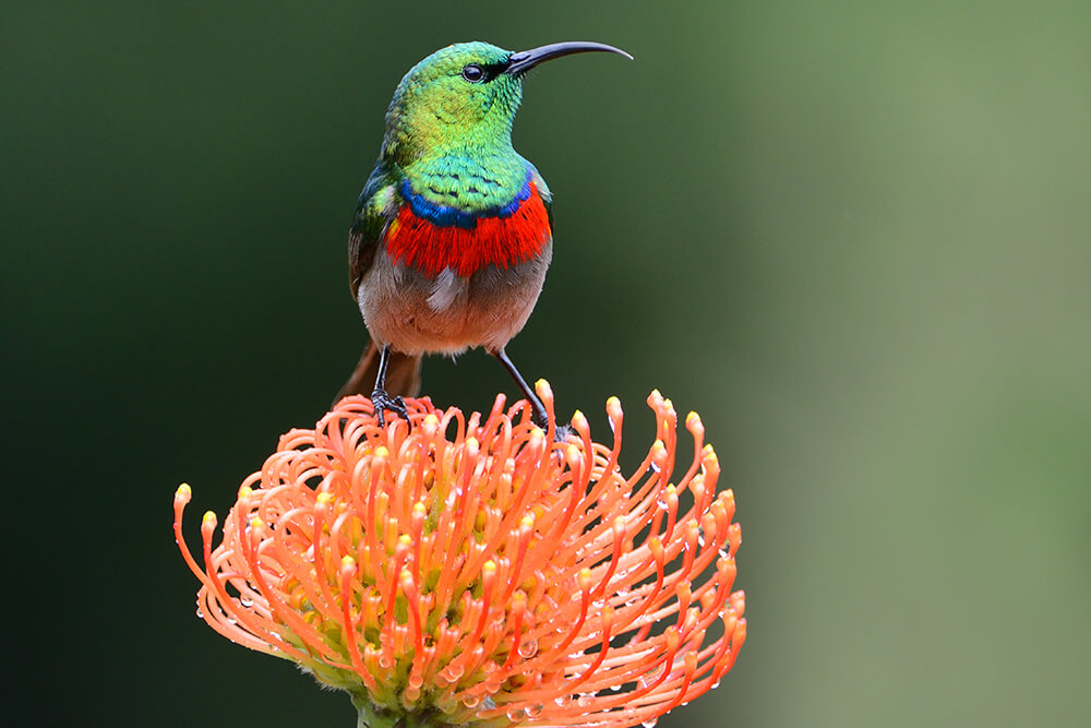 A sunbird with a green head and read breast sits upon an orange pincushion protea flower