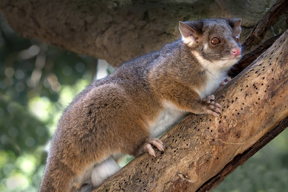 Ringtail possum climbing a tree branch