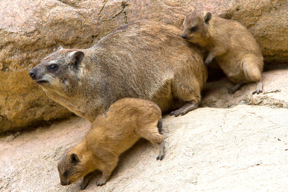 Rock hyrax and young climbing rocks