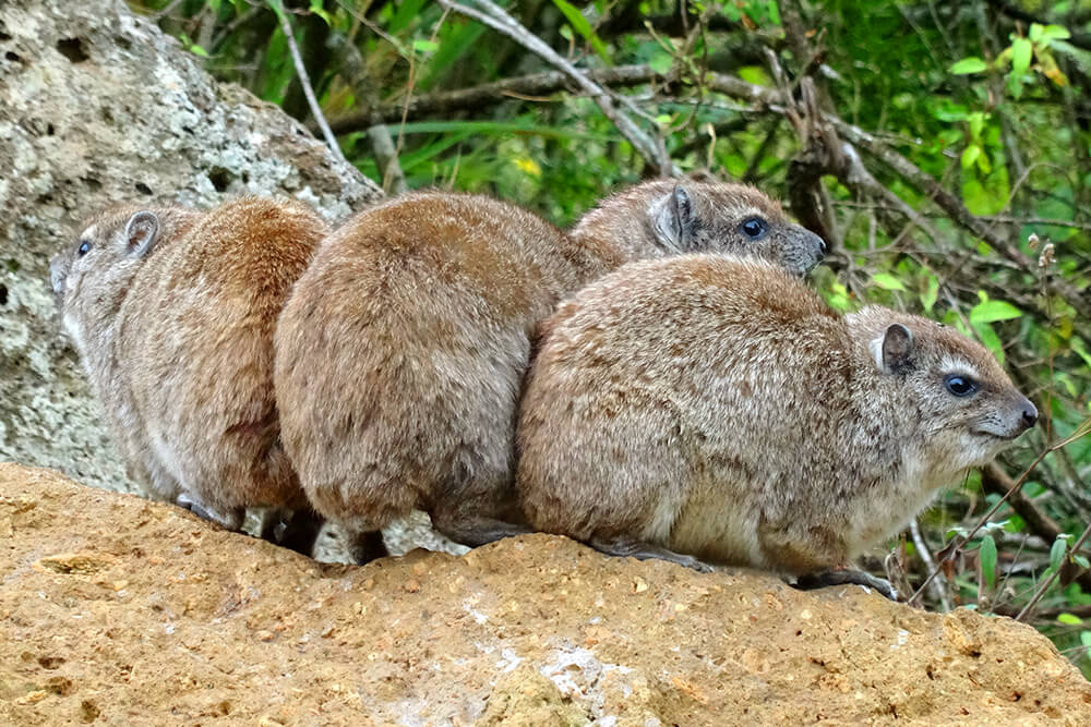 Rock hyraxes feed in a circle formation