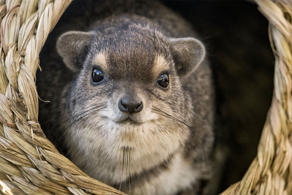 Rock hyrax in basket at San Diego Zoo