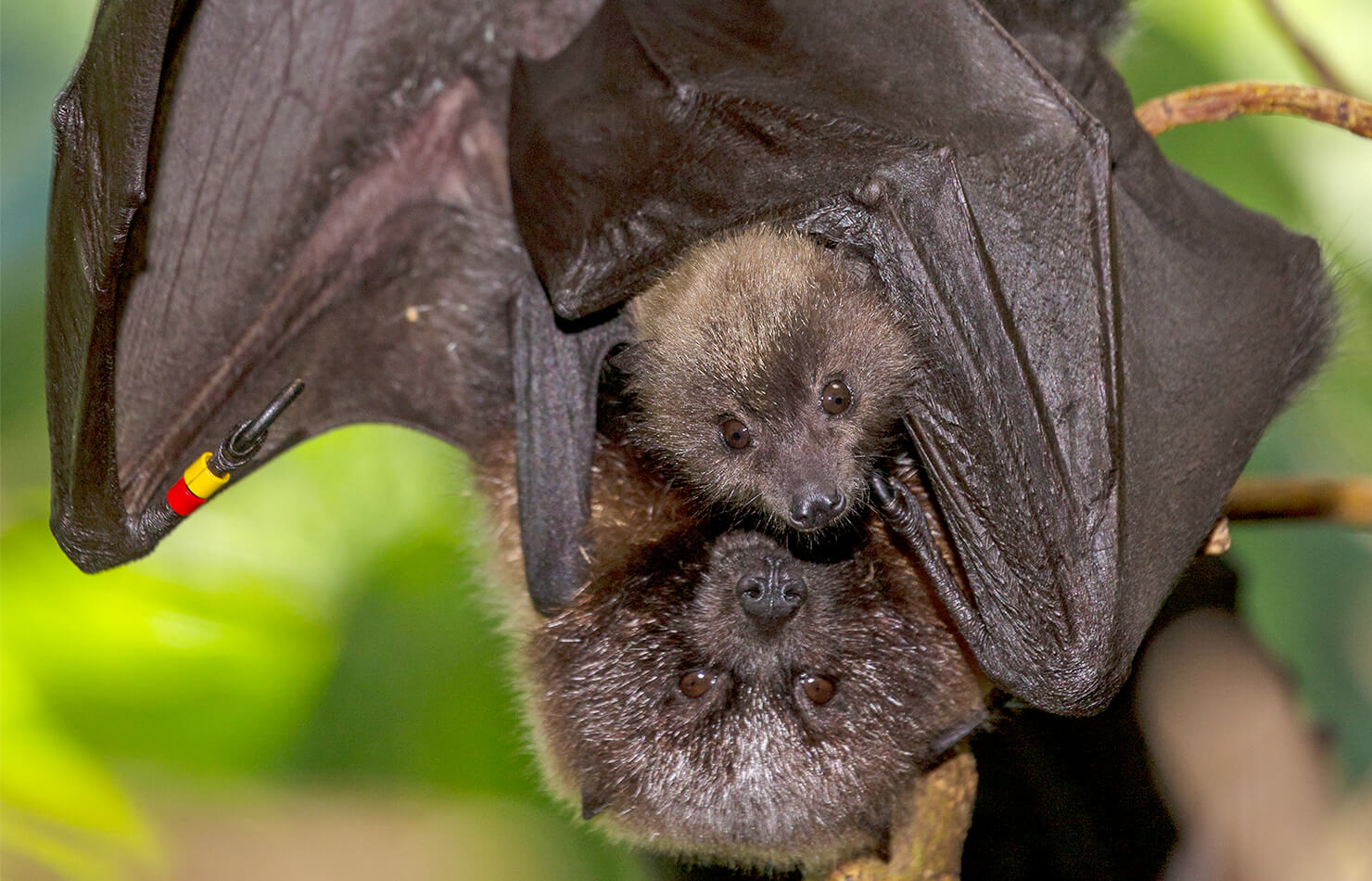 Rodrigues fruit bat with baby.