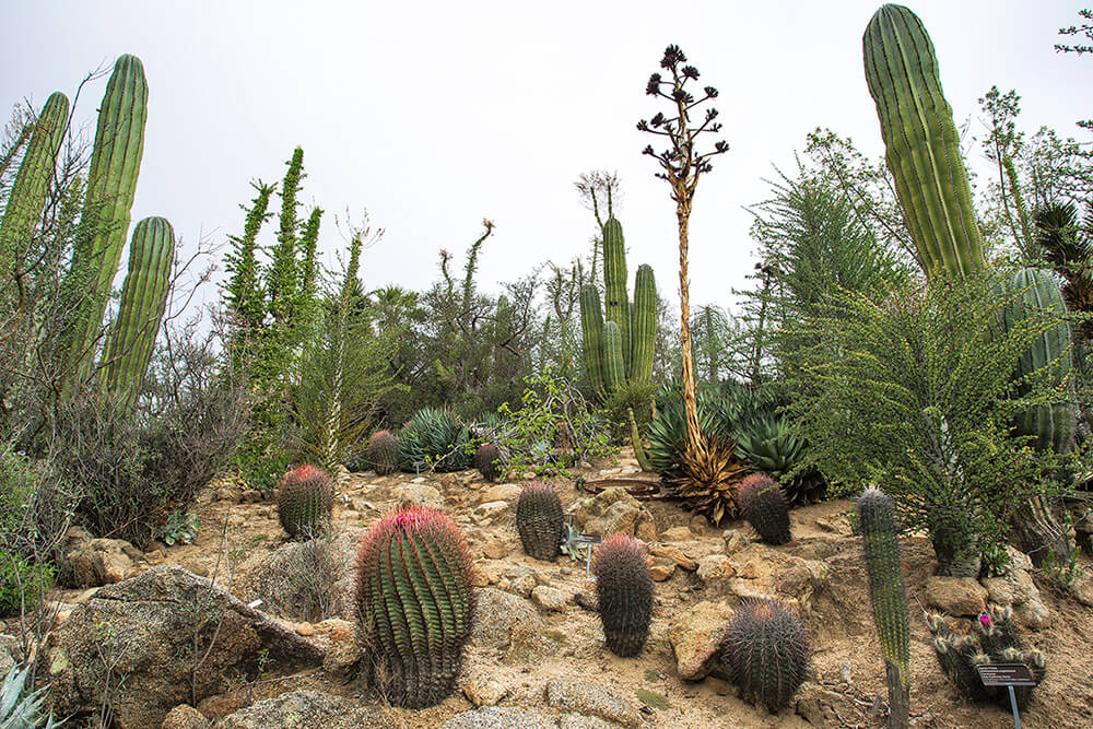 Saguaro grow with other cacti and succulents at the San Diego Zoo Safari Park's Baja Gardens.