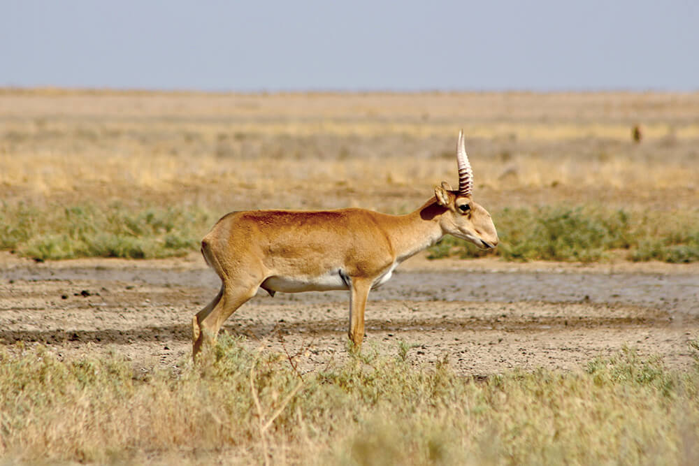 Male saiga standing in grasslands