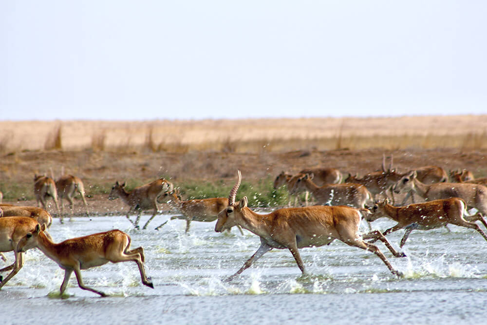 Herd of saiga running.