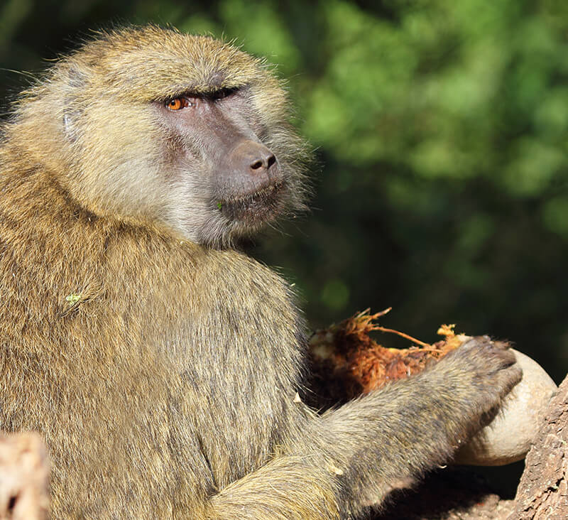 Baboon eating sausage tree fruit