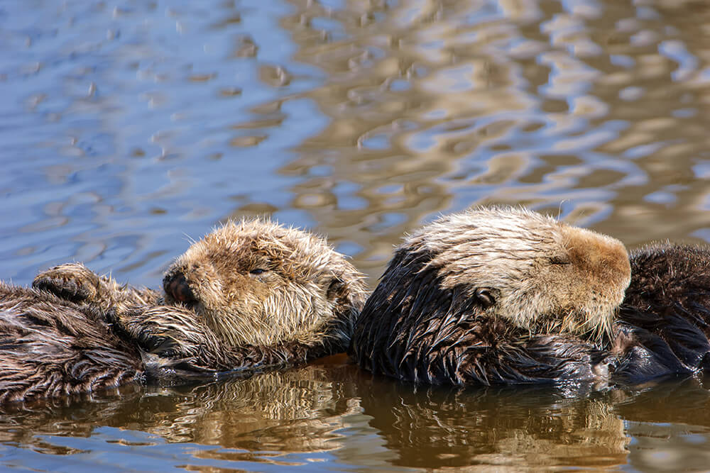 Sea otter pup with mother