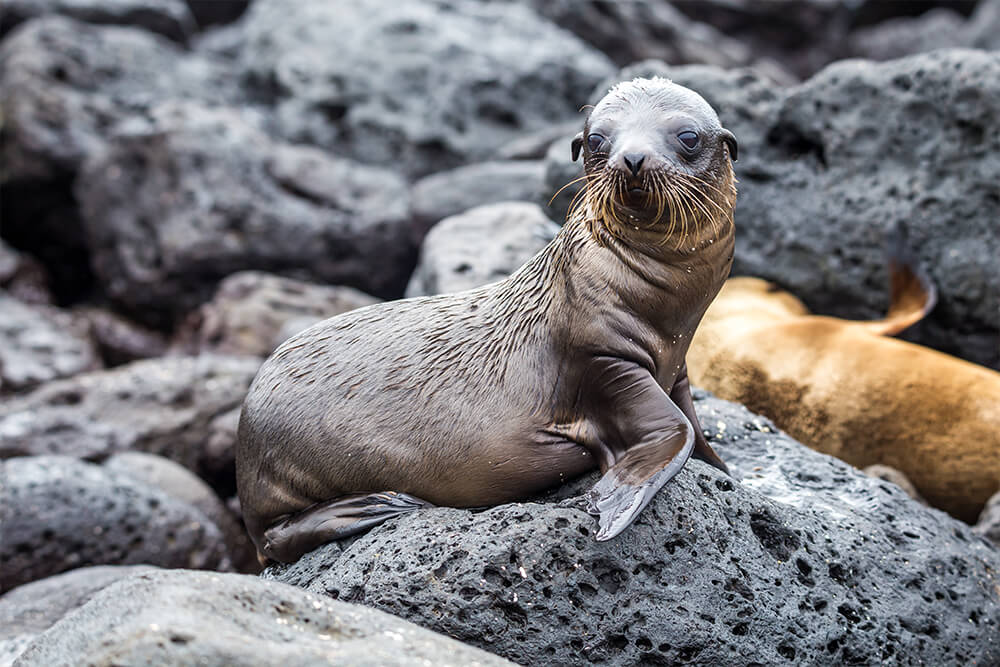 Baby sea lion on Galapagos rocks