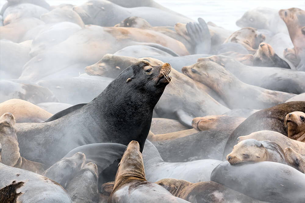 Sea lion bull surrounded by female sea lions