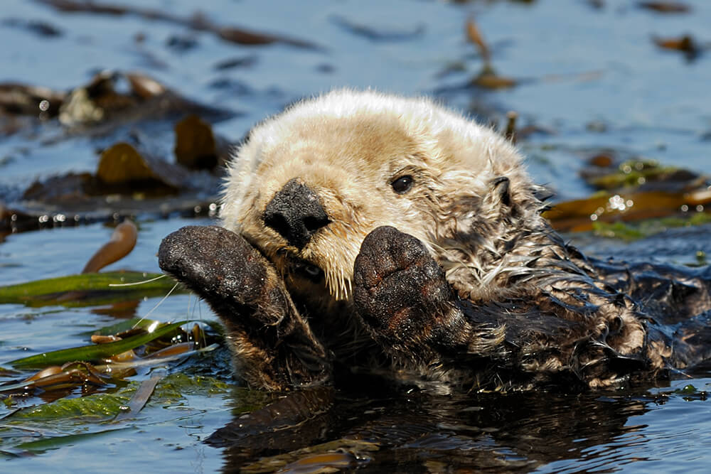 California sea otter cleaning its face.