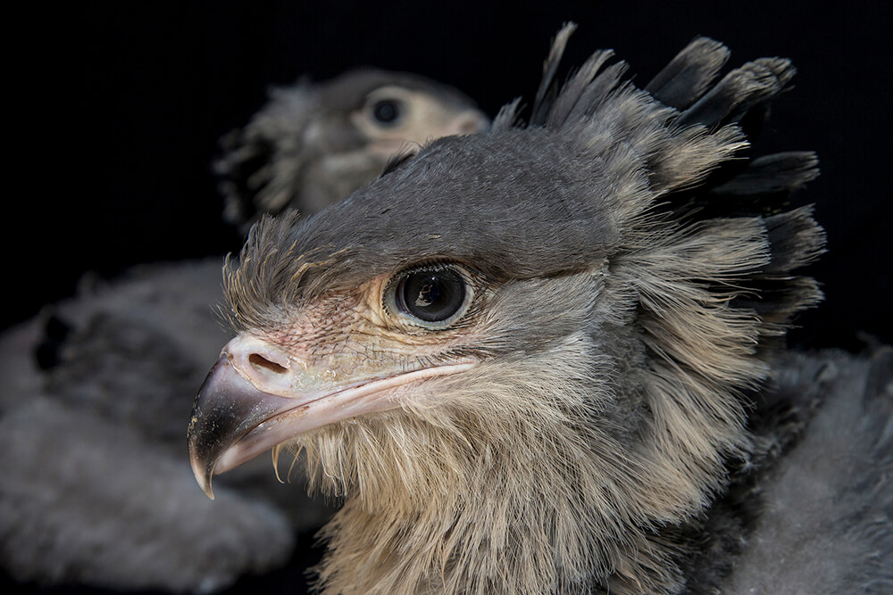 Two secretary bird chicks
