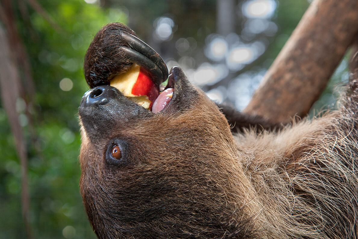 Two-toed sloth enjoying a fresh apple.