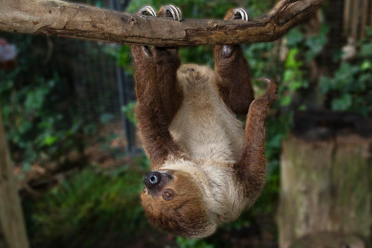 Two-toed sloth hanging onto a branch.