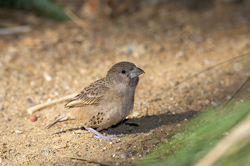 Juvenile sociable weaver sitting on dirt ground