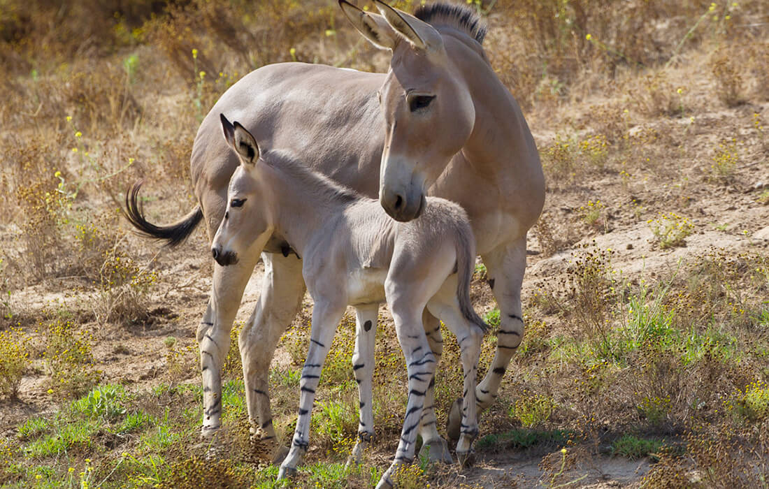 Somali Wild Ass mother with foal