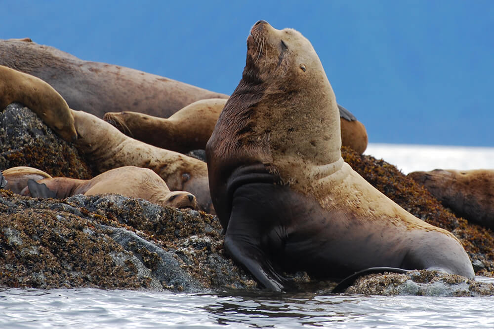 Seller's Sea lion male on rock