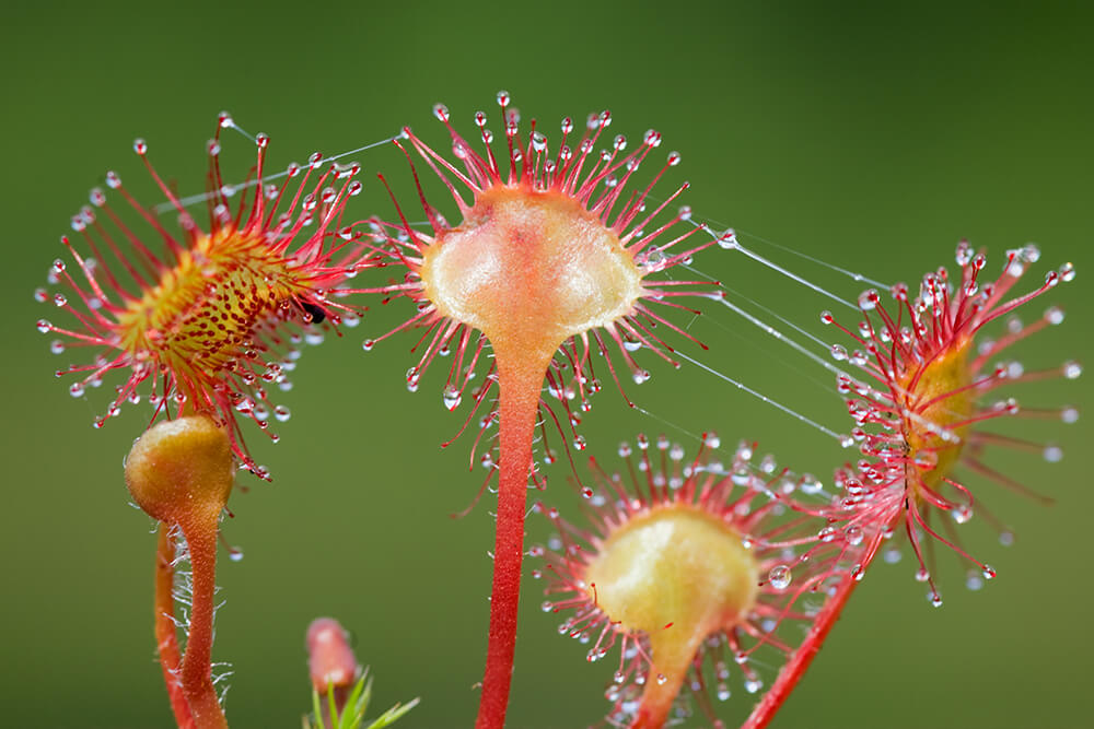 "Close-up of a sundew plant's long, nectar-tipped tentacles, with viscous ""dew"" strands."