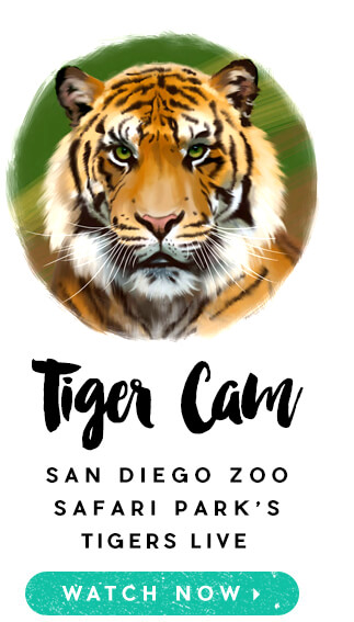 Tiger Cam: San Diego Zoo Safari Park's Tigers Live. Watch Now.