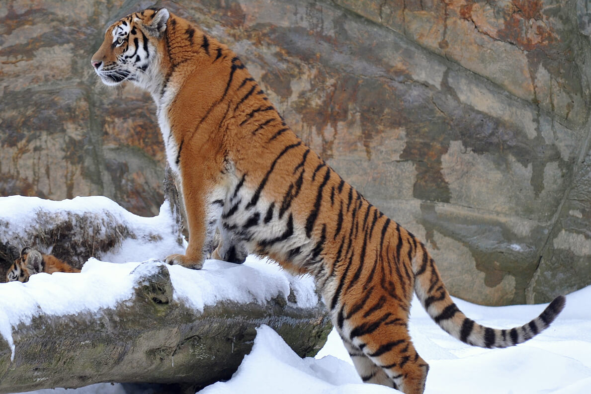 Young Amur or Siberian tiger in the snow