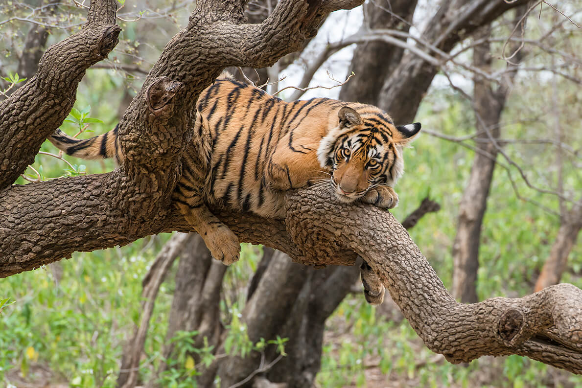 Bengal tiger sitting in tree