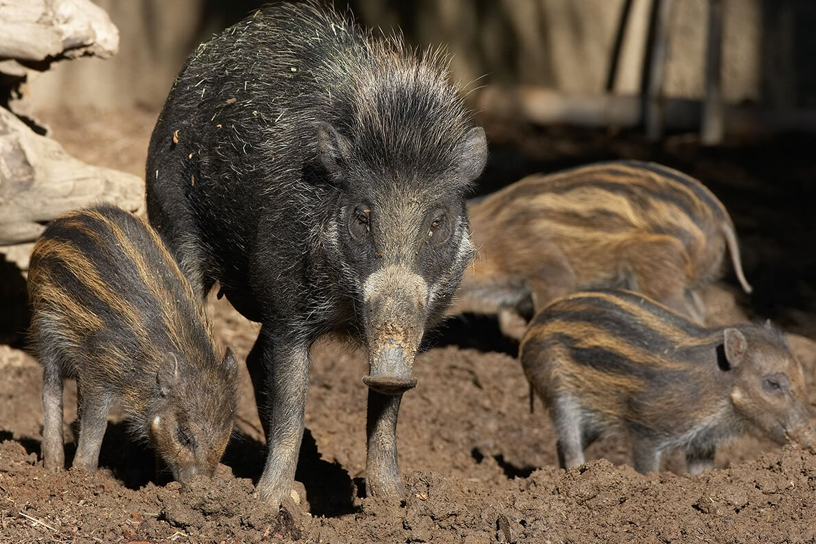 Visayan warty pig and piglets