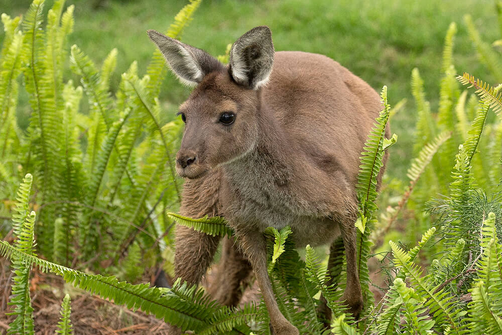 Western grey kangaroo standing over tall green ferns.