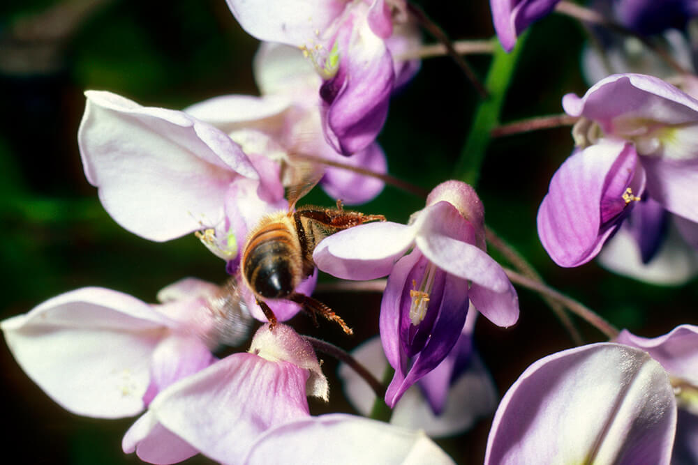 A bee pollinates Japans Wisteria by carrying pollen on its legs from bloom to bloom.