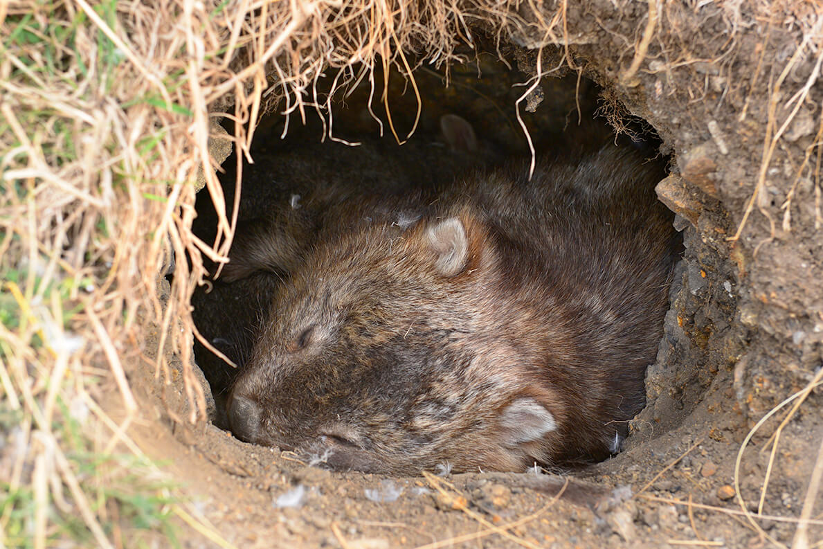 Wombats make their homes in dug-out burrows.