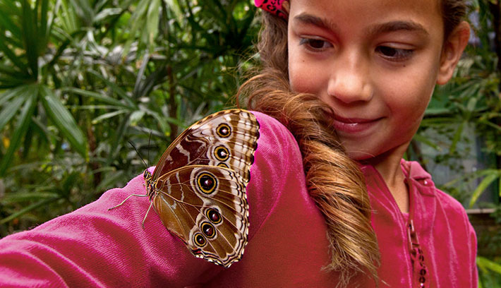 The giant owl butterfly is native to rain forests and secondary forests from Mexico to the Amazon.