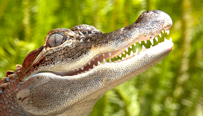 Endemic to the southeastern US, the American alligator was once endangered but is now thriving after conservation efforts.