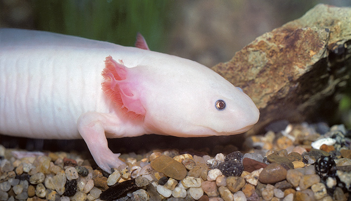 The axolotl, a unique species of salamander from Mexico, has the ability to regenerate missing limbs.