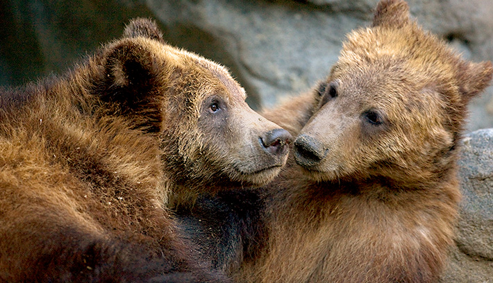Brown bears can be found in a wide variety of habitats, including forests, mountain areas, tundra, and even semi-desert areas.