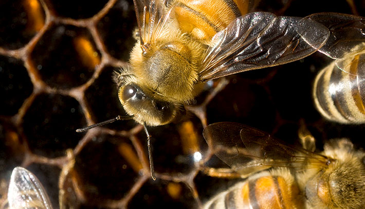 Honeycomb is made from beeswax secreted by glands on the worker bees' abdomens. The workers chew the wax and mold it into 6-sided honeycomb cells that together form a sheet of honeycomb.