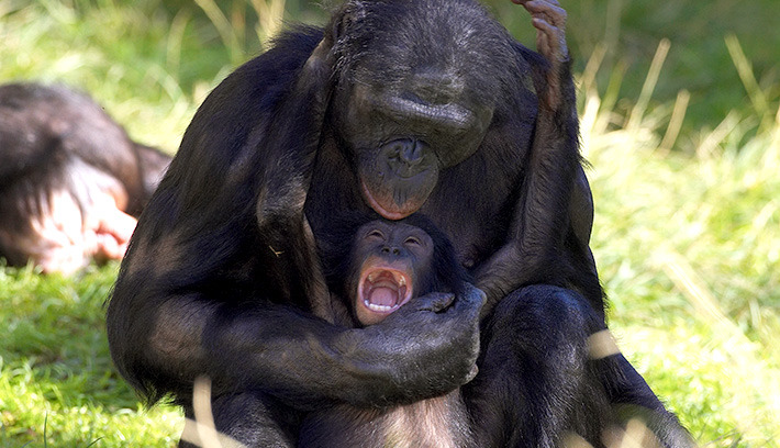 Bonobo babies are born almost helpless and must be carried everywhere by their mothers for the first two years.