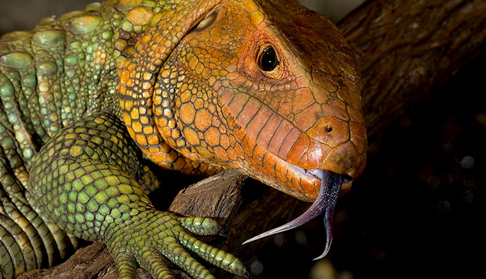The Caiman lizard is a large, heavy lizard well adapted to life in and around water.