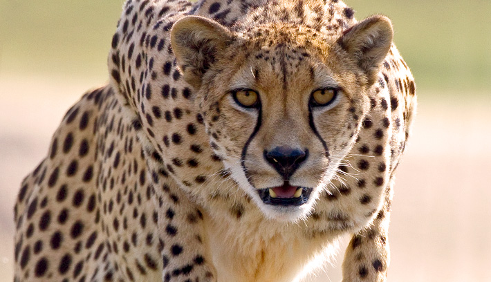 A cheetah's ability to run starts with its flexible spine, which allows the front legs to stretch far forward on each stride.