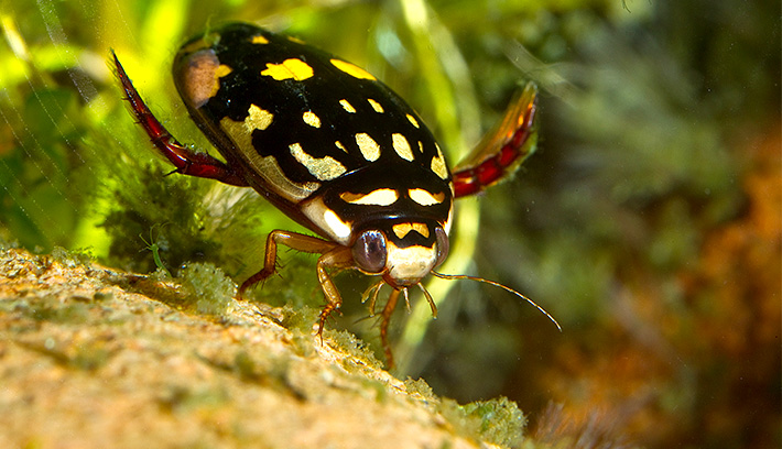 A sunburst diving beetle's predation on disease-carrying insects, such as mosquitoes, is a service we humans can appreciate.