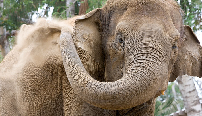 Elephants often cover themselves in dust or mud for protection from the sun and biting insects.