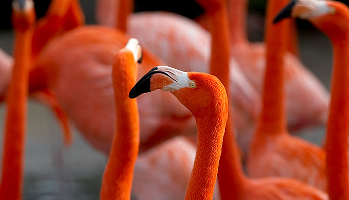 Caribbean flamingos, a subspecies of greater flamingo, show off the brightest colors—red, pink, or orange on their legs, bills, and faces. The pink or reddish color comes from rich sources of carotenoid pigment in the food they eat, including algae and crustaceans.