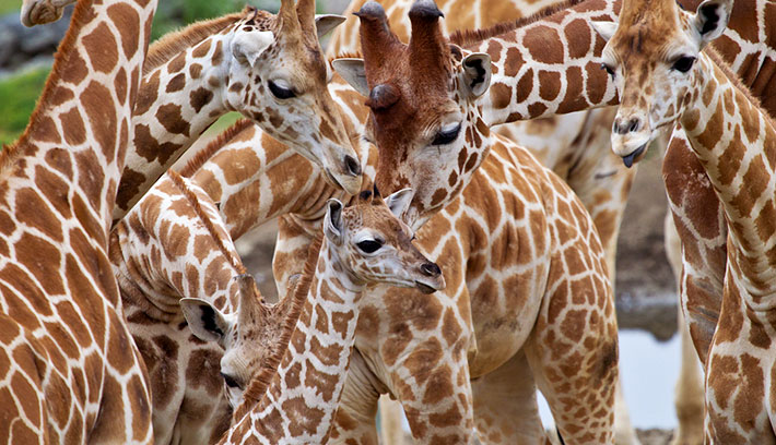 No two giraffes have the same coat pattern. They are as individual as fingerprints.