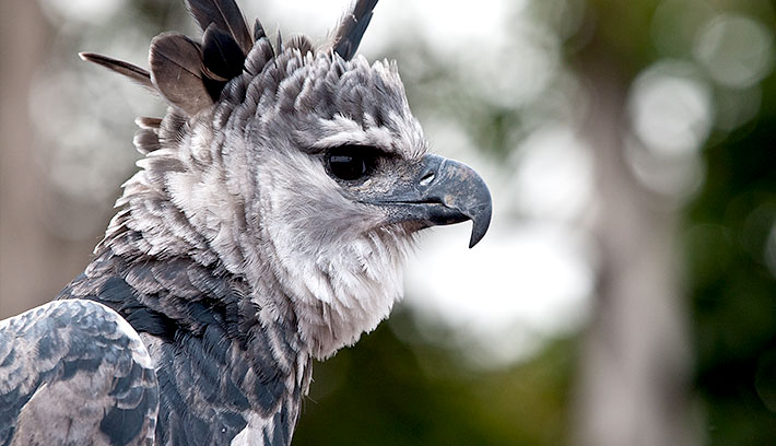 The harpy eagle has a very distinctive look, with feathers atop its head that fan into a bold crest when the bird feels threatened.