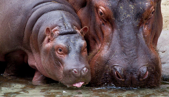 The hippopotamus is a social animal, typically living in groups of 10 to 30 animals.